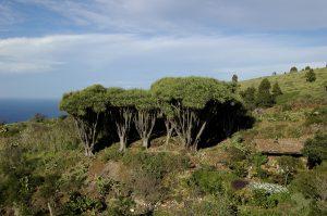 Visit La Palma: Las Tricias – Buracas (parte de la etapa 4 del GR 130) en La Palma